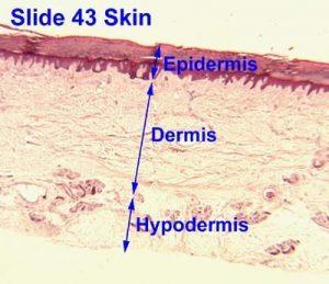 تصویر لایه های پوست