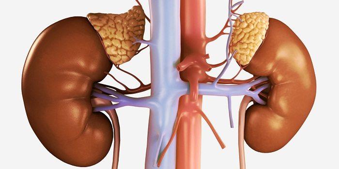 غدد فوق کلیوی تنظیم هورمون زنانه استروژن و پروژسترون