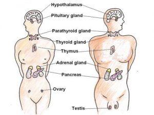 غدد هورمونی بدن انسان