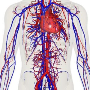 سیستم گردش خون بدن